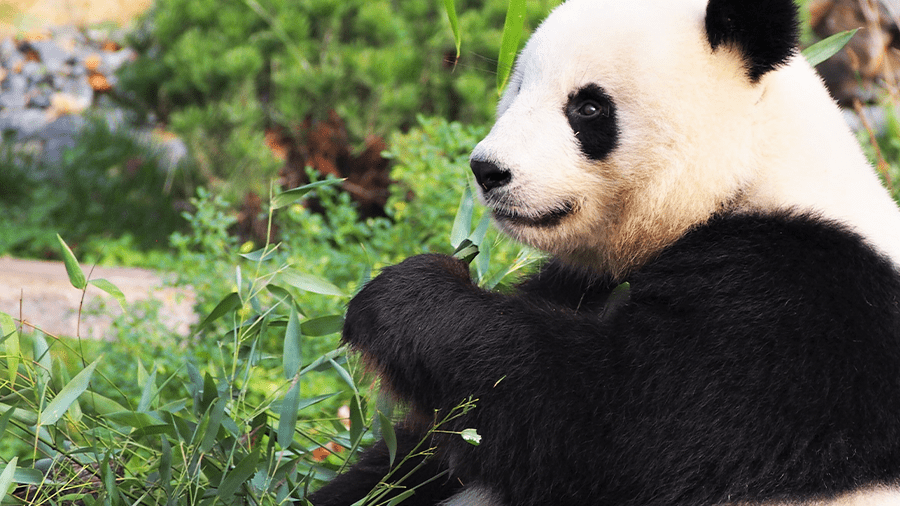 What Exactly Makes Bamboo Sustainable and Panda-Friendly?